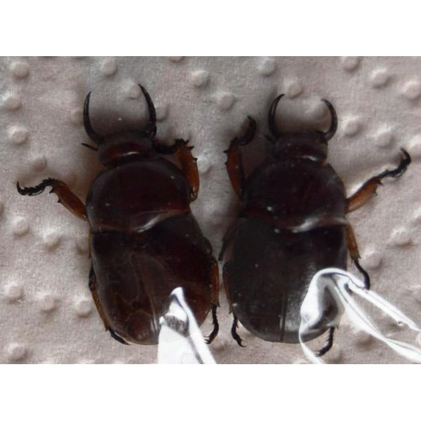 V067 RUTELIDAE Didrepanephorus yunnanus clermonti 2M A1 20/24mm Vietnam