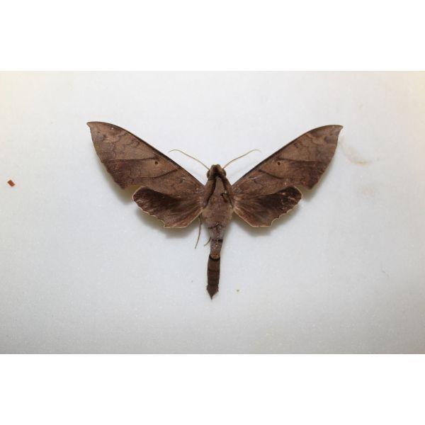 Sphingidae Pachylia darceta mal from Guyane