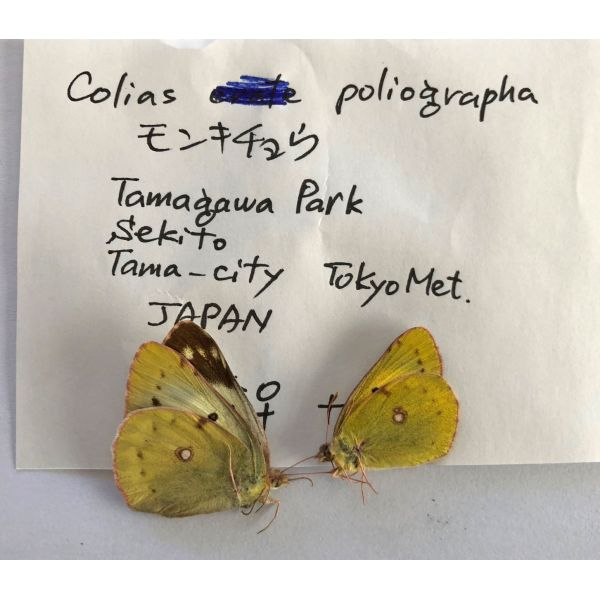COLIAS POLIOGRAPHA * PAIR****JAPAN(unmounted,papered)