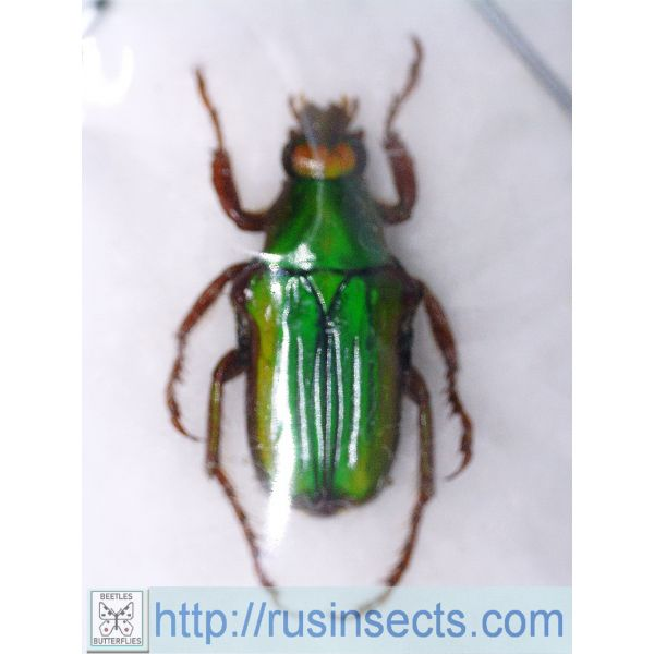 Scarabaeidae, Cetoniinae Pygora donckieri Madagascar