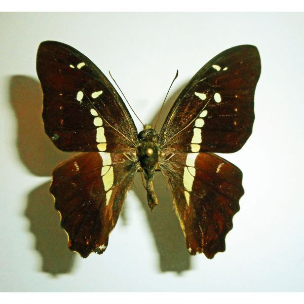 GRAPHIUM GELON****male**** NEW CALEDONIA(papered,not mounted)