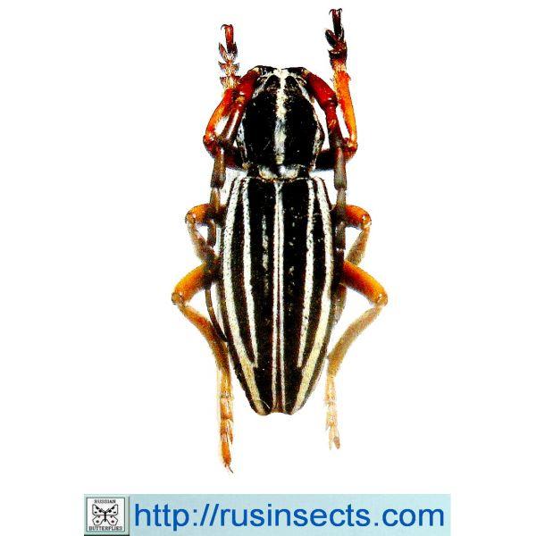 Cerambycidae, Lamiinae, Dorcadionini Dorcadion (Cribridorcadion) turkestanicum