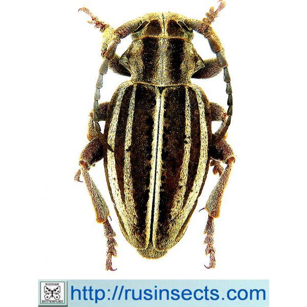 Cerambycidae, Lamiinae, Dorcadionini Dorcadion (Cribridorcadion) sareptanum sareptanum