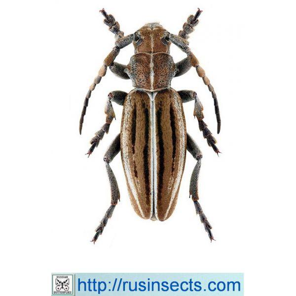 Cerambycidae, Lamiinae, Dorcadionini Dorcadion (Cribridorcadion) holosericeum tristriatum