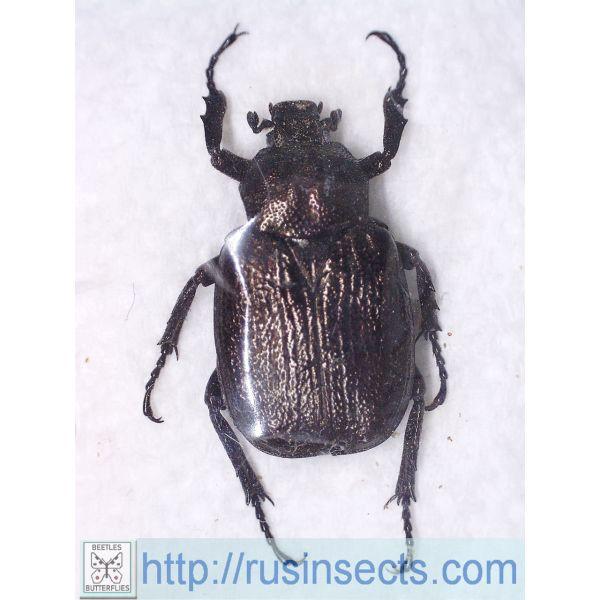 Scarabaeidae, Trichiinae Osmoderma scabra Canada (Montreal)