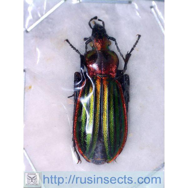 Carabidae, Carabinae, Carabus Carabus (Chrysocarabus) lateralis lateralis NW Spain (Galicia)