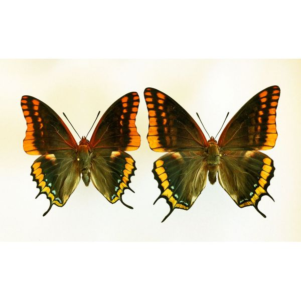 CHARAXES JASIUS SEPTENTRIONALIS**** 1 PAIR**** ITALY