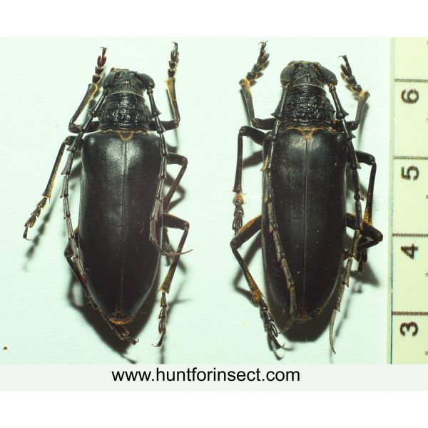 Placoederus scapularis pair, A+ quality