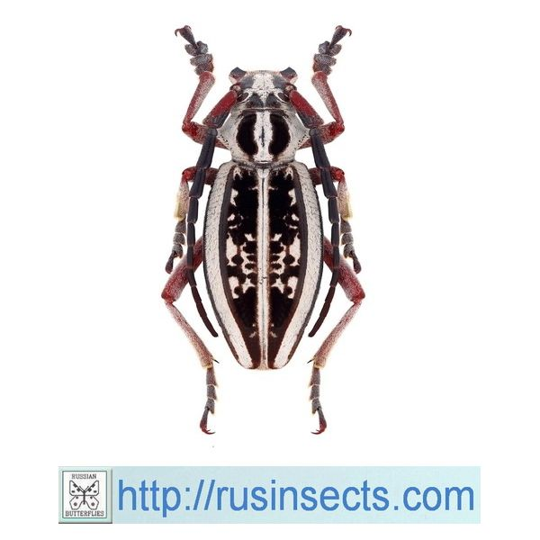 Cerambycidae, Lamiinae, Dorcadionini Dorcadion (Acutodorcadion) irinae irinae
