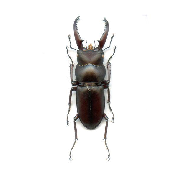 Dorcus tanakai meridionalis - A1 Male 27 + mm - VIETNAM - LUCANIDAE