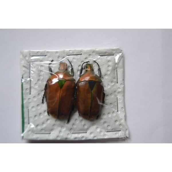 A1 CETONIDAE Torinorrhyna scutellata from Vietnam