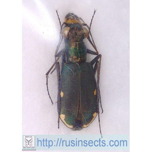 Cicindelidae, Cicindelini Cicindela (Cylindera) germanica S Russia (Astrakhan reg.)