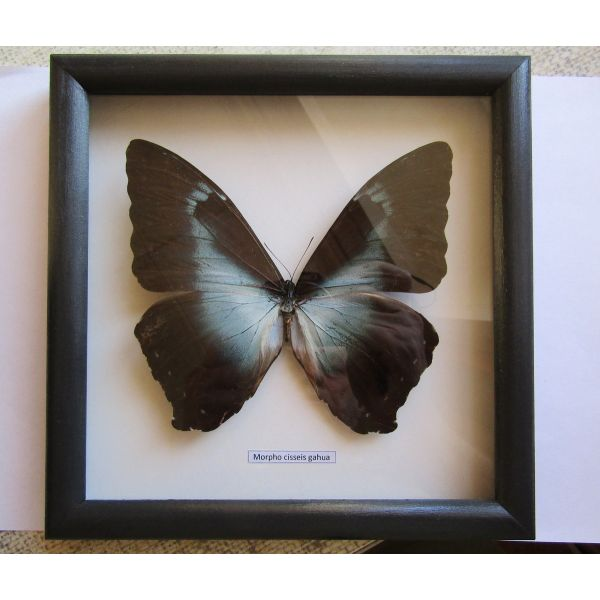 Butterfly Morpho cisseis gahua in frame