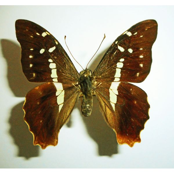 GRAPHIUM GELON****female**** NEW CALEDONIA(papered,not mounted)