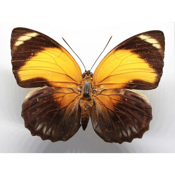 +++ AGRIAS PERICLES AURANTIACA female YELLOW FORM ,BRAZIL, Nymphalidae +++