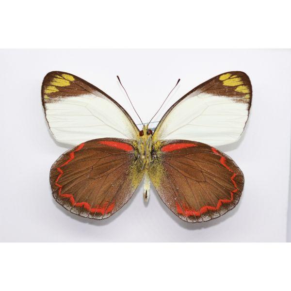 Delias buruana - BURU ISLAND - INDONESIA Pieridae, Butterfly