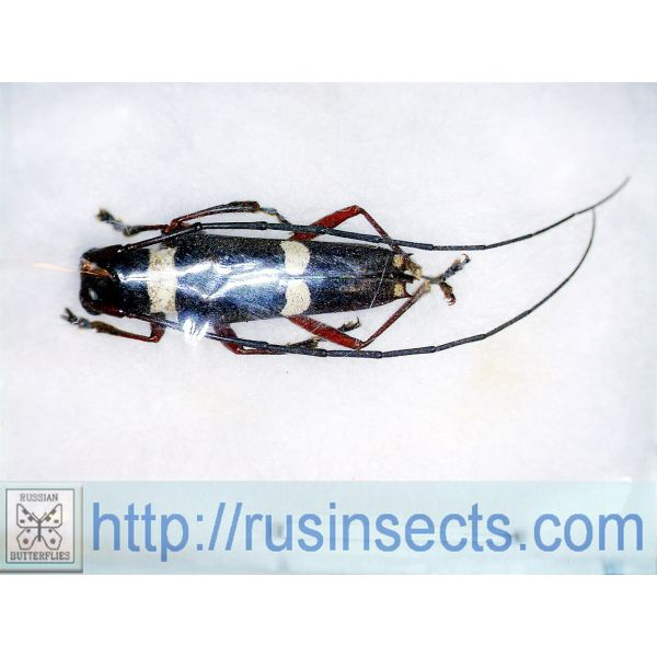 Cerambycidae, Lamiinae, Saperdini Glenea (Glenea) funerula funerula W Malaysia (Pahang)