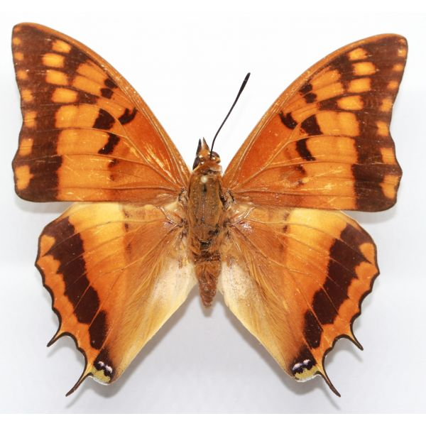 Charaxes boueti - Cameroon - Nymphalidae, butterfly