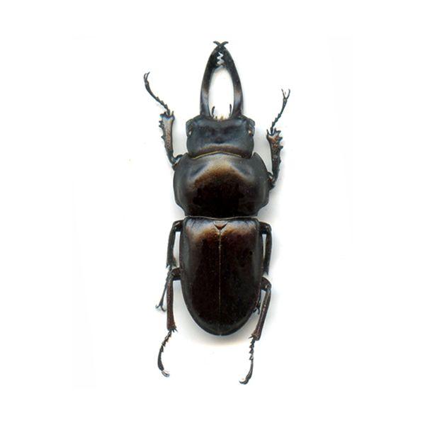 Neolucanus delicatus (Black form) - A1 male 36.7 mm - N.Vietnam - LUCANIDAE
