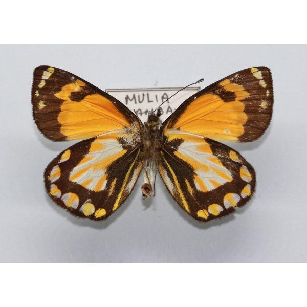 Delias muliensis - PAPUA - Pieridae, Butterfly