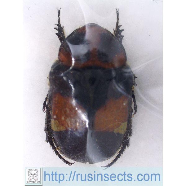 Scarabaeidae, Cetoniinae Gametis bealiae NE Laos