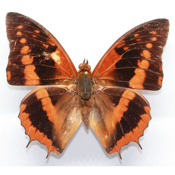 Charaxes cynthia - Cameroon. - Nymphalidae, butterfly