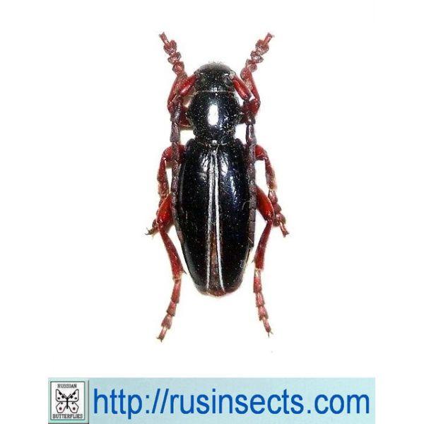 Cerambycidae, Lamiinae, Dorcadionini Dorcadion (Cribridorcadion) cinerarium