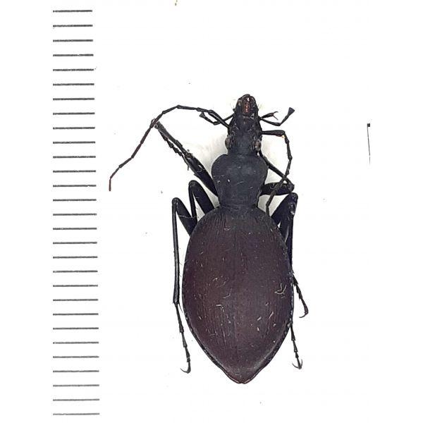 30652, Carabidae, scaphinotus angusticollis (?) from Canada