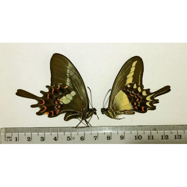 PAPILIO HECTORIDES****pair**** BRAZIL(papered -unmounted)