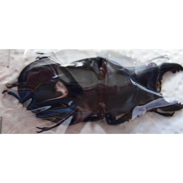 A1 LUCANIDAE Odontabilis siva parryi M amphiodonte 70mm Vietnam