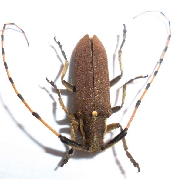 Coleoptera: Cerambycidae Agapanthia annularis
