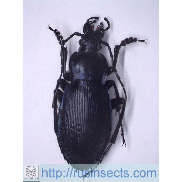Carabidae, Carabinae, Carabus Carabus (Eucarabus) catenulatus catenulatus Italy