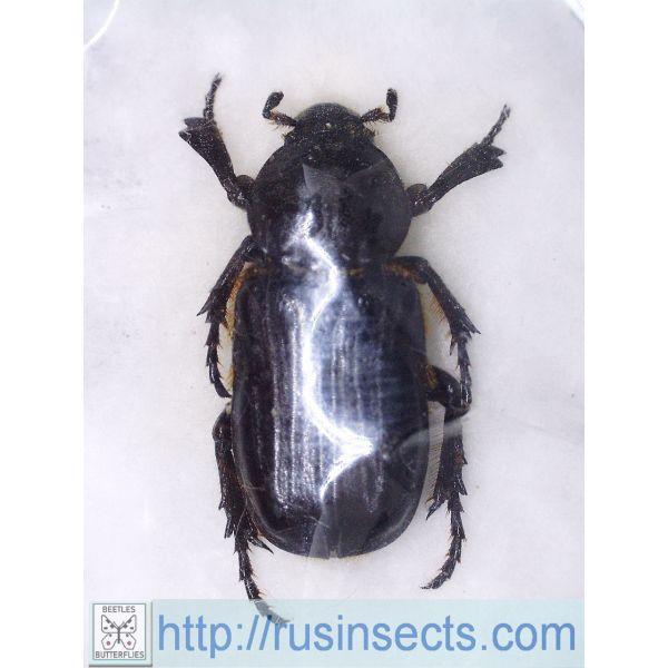 Scarabaeidae, Cetoniinae Coenochilus bifoveolatus N Vietnam
