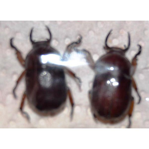 V066 RUTELIDAE Didrepanephorus yunnanus clermonti 2M A1 21/21mm Vietnam