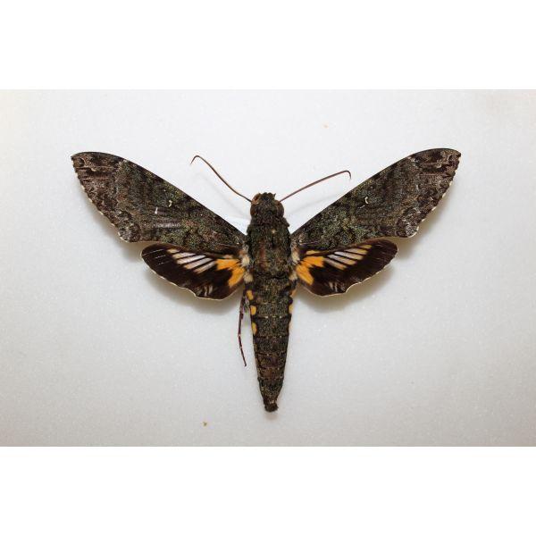Sphingidae Cocytius duponchel Sud Amerique