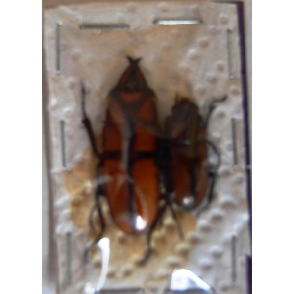 A1 LUCANIDAE Prosopocoilus suturalis couple 30/35 mm Vietnam