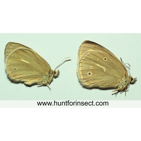 Coenonympha mongolica pair, A+ quality
