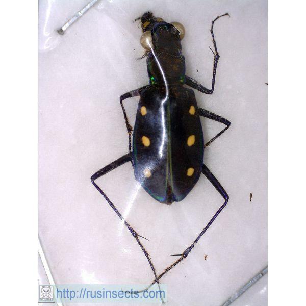 Cicindelidae, Cicindelini Cicindela (Calochroa) sexpunctata China (NW Yunnan)