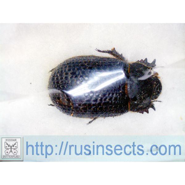 Scarabaeidae, Troginae Trox morticinii W Kazakhstan (Mangystau reg.)