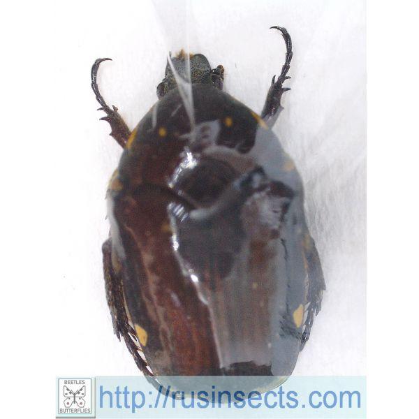 Scarabaeidae, Cetoniinae Clinteria flora Indonesia (Flores Is.)