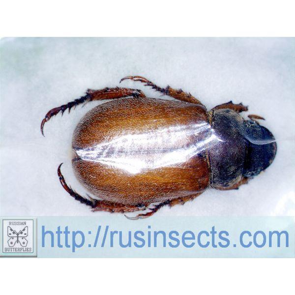 Scarabaeidae, Rutelinae Adoretus pruinosus S Kazakhstan (Chimkent reg.)