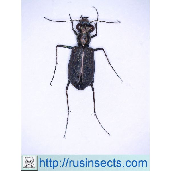 Cicindela (Cicindelidia) punctulata punctulata USA (New Jersey)