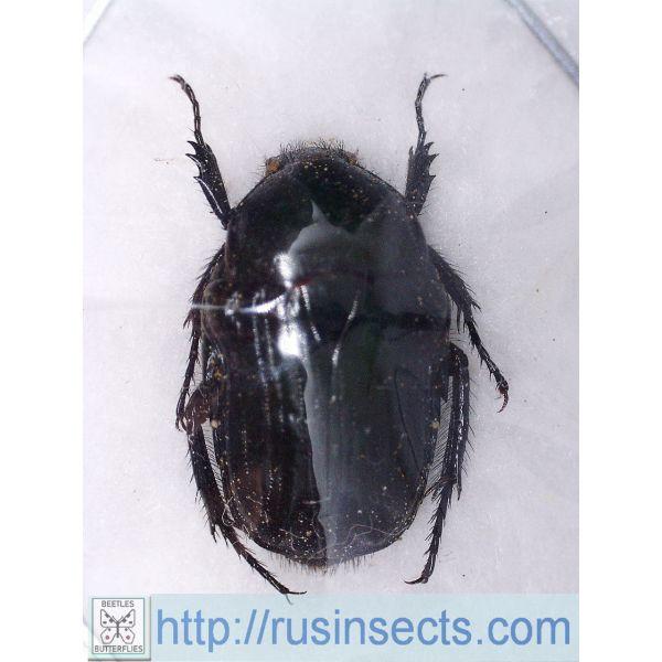Scarabaeidae, Cetoniinae Coptomia prasina Madagascar