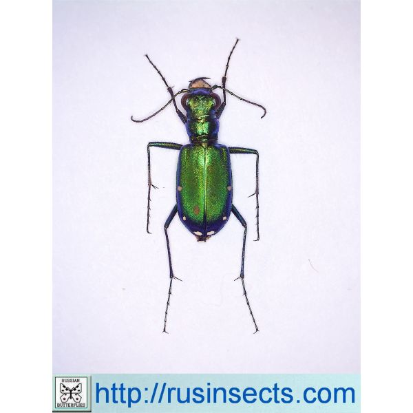 Cicindela (s. str.) sexguttata USA (South Carolina)