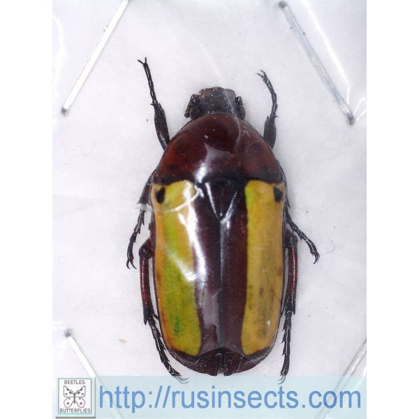 Scarabaeidae, Cetoniinae Chlorocala guerini Ivory Coast
