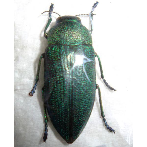 Coleoptera: Buprestidae perotis sp.