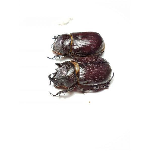 Coelosis hippocrates pair