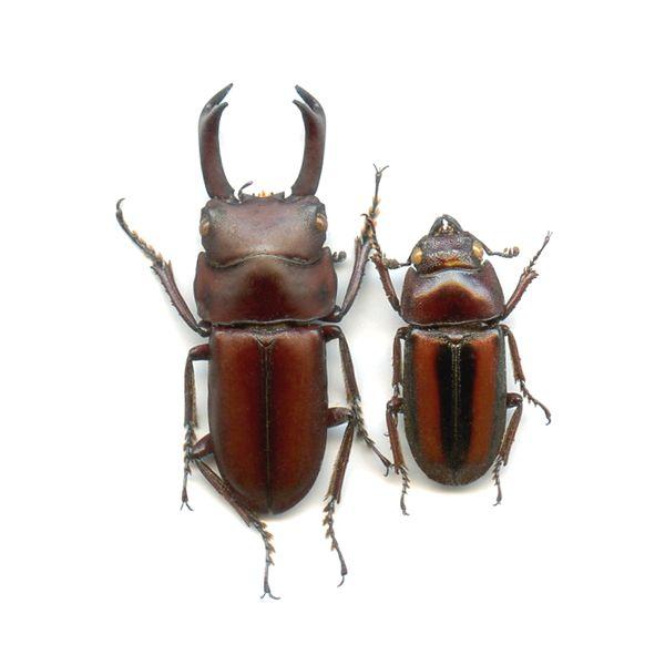 Dorcus elegantulus axis - A1 Pair, male 28.3 mm - SUMATRA Is - LUCANIDAE