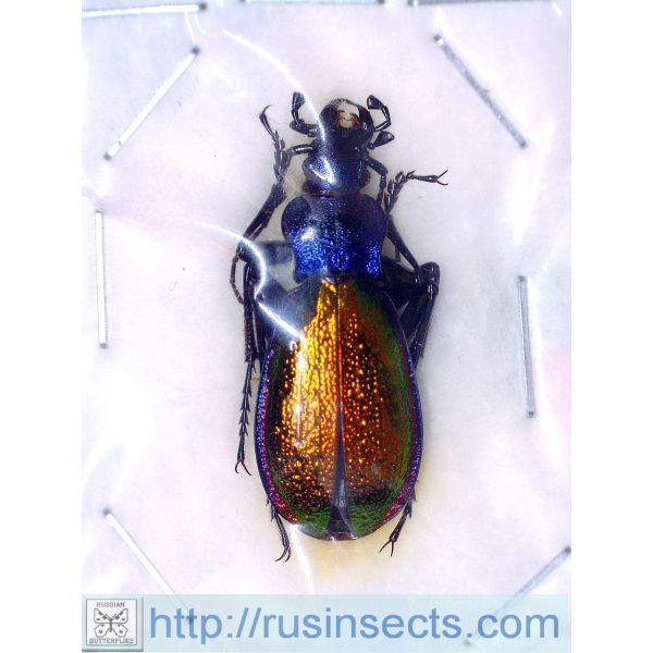 Carabidae, Carabinae, Carabus Carabus (Chrysotribax) hispanus hispanus France