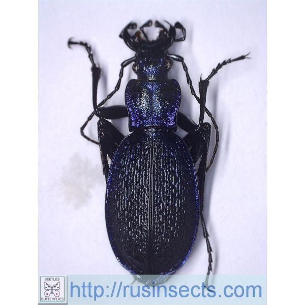 Carabidae, Carabinae, Carabus Carabus (Chaetocarabus) intricatus subrhodopensis Greece 4.00